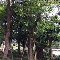 大小規格樸樹基地