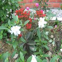 浓香型牡丹栀子花树苗 大叶小叶中叶栀子花苗盆栽栀子花树苗