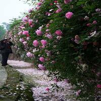 多花薔薇花苗 爬墻梅 爬藤月季玫瑰爬墻 庭院花卉盆栽四季開花