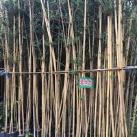 福建地区供应琴丝竹