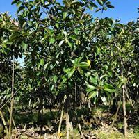 福建地区供应10-12公分印度橡皮榕袋苗