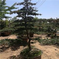 批发优质绿化苗木 已成活嫁接五针松苗 五针松小苗 量大优惠
