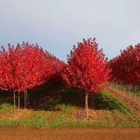 日本紅楓苗 紅楓小苗 秋火焰紅舞姬 盆栽紅楓樹苗綠化樹苗