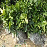 桃叶珊瑚 土球好 冠幅好 花灌木 地被 球类 色块类 草花类