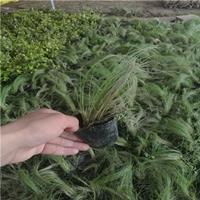 批发草花植物 细叶芒 花叶芒 斑叶芒 细叶茎芒 等草本植物