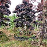 大量高档3米造型赤楠 造型红继木 造型女贞大杆与小杆价格不同