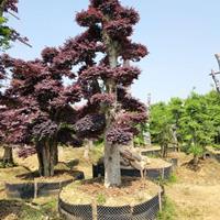 2-4米造型杨梅树 造型罗汉松 造型赤楠 造型红桎木 紫微桩