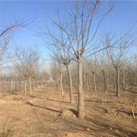 大量供应 国槐树 8-16公分 大规格 速生国槐树 城市绿化