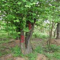 基地直销绿化苗木木瓜海棠 木瓜树苗 量大优惠规格齐