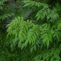精品綠化苗木苦楝開始出售
