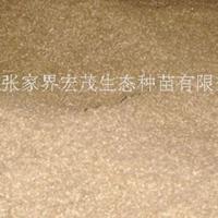 桤木种子供应,桤木种子播种技术