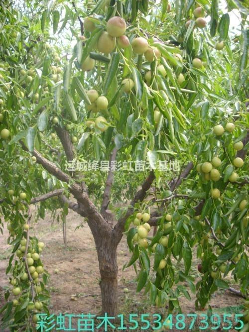 10公分枣树价格 15公分枣树价格 20公分枣树价格