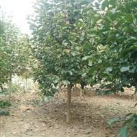 河南地区大量供应紫玉兰1-50公分
