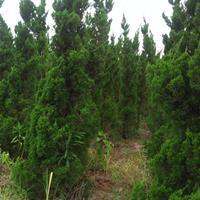 滁州玉宽苗木基地常年出售龙柏,蜀桧。