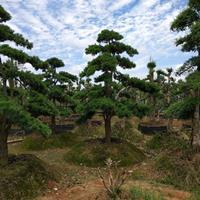 长青树园林景观树10-12-15公分造型罗汉松 造型赤楠桩价