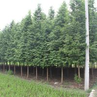 8-10公分水杉价格   8-10公分水杉种植基地