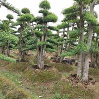 湖南景观树造型小叶女贞多少钱一棵?造型赤楠桩