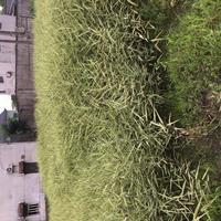 浙江杭州萧山佳颖园艺种植基地大量批发金叶芦苇花叶芦苇