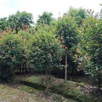 四川高杆红叶石楠树,红叶石楠球,红叶石楠小苗,红叶石楠基地
