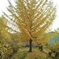 山东郯城佳泰园林低价供应银杏树