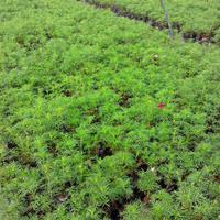 波斯菊工程苗   波斯菊批发价格    波斯菊种子