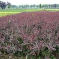 紫叶小檗、红瑞木、红叶石楠、红王子锦带、花柏球