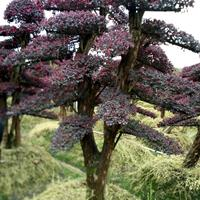风水树 风水林 房屋风水树 单位风水树造型红花继木 赤楠高档