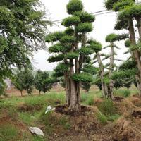 住宅风水周边种树 企业单位种树风水如何讲究造型小叶女贞 赤楠