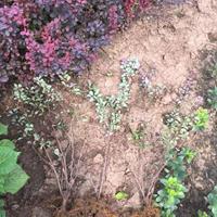 江苏红叶小檗40公分报价,红叶小檗一年生,紫叶小波批发