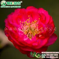耐寒梅花 红梅 江南朱砂梅 朱砂品种群 早花红花梅工程用树苗