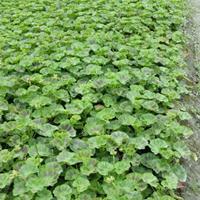 天竺葵批发价格  天竺葵种植基地   工程苗批发基地