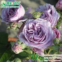 欧洲月季新品种 薰衣草花环 大花月季 重瓣红花月季营养杯苗