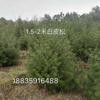1.5米绿化白皮松价格_1米5占地白皮松价格_山西运城白皮松