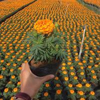 时花福建漳州苗圃种植供应时花 长春花 皇帝菊品种多样规格齐全