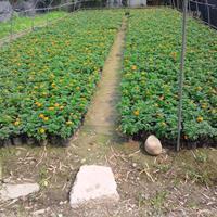 孔雀草批发价格   孔雀草种植基地   时令草花工程苗
