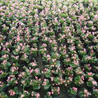 四季海棠批發價格   四季海棠種植基地   四季海棠工程苗