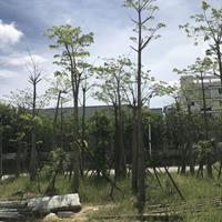出售美人树,胸径15-25公分