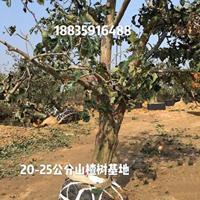 紧急出售11公分和13公分山楂树·15公分山楂树紧急出售