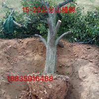 8公分占地山楂树价格=10公分裸根山楂树价格·供应山西山楂树