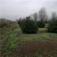园林绿化工程观赏树 规格全 白皮松树苗