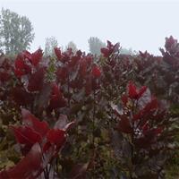 低价大量供应各种规格的中华红叶杨 基地直销 价格优惠