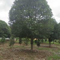 广西桂花树、20-32公分桂花树、广西桂花树价格