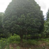 广西桂花树价格/20至32公分桂花树报价