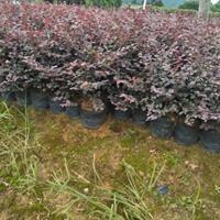 供应高30公分红花继木中杯苗