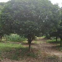 供应分支点80-140公分,20-35公分桂花树/广西桂花