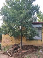 山东地区供应国槐树胸径10公分500元