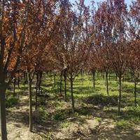 江苏红叶李、紫叶李、李子树、8公分红叶李价格