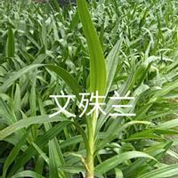 福建文殊兰介绍/特征/用途