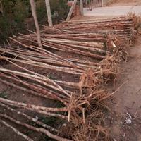 江苏供应构树规格齐全