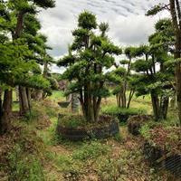 湖南造型赤楠批发/供应造型榆树 造型榔榆树 榆树桩价格